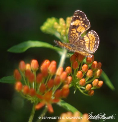 Butterfly on Butterfly Weed