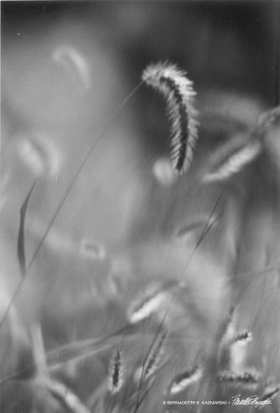 Grasses-bw-1000px