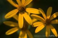 Three Sunflowers-1000px