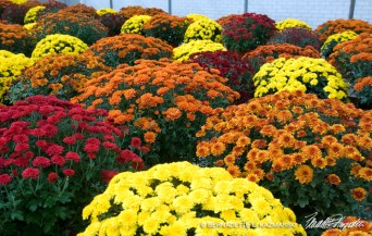 bedners-mums-colors-1000px