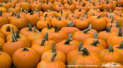 bedners-pumpkins-1000px