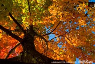 leaves-sugarmaple-1000px