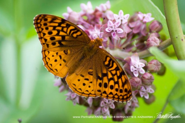 Great spangled fritillary on milkweed.