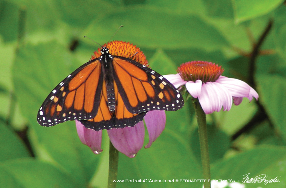 Monarch and Echinacea