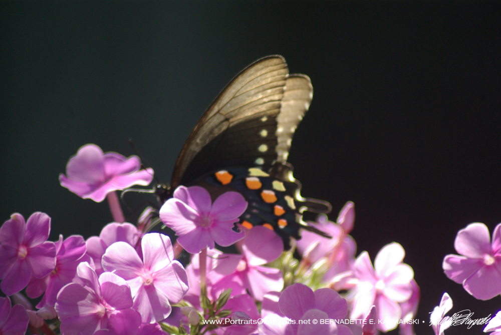 Black Phase Swallowtail Nestling Into Phlox, Butterfly Photo