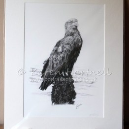 White-tailed Eagle Turquoise 1