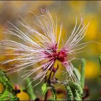 Fairy duster