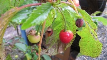 and that the cherries are almost ripe.