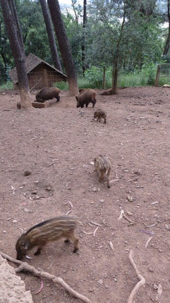 The park had animals that are native to Portugal - such as these Javali ( wild pigs)