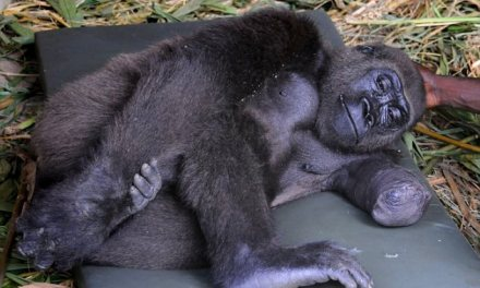 One-armed gorilla whose mother was killed by poachers can walk again after British vets performed operation in middle of jungle