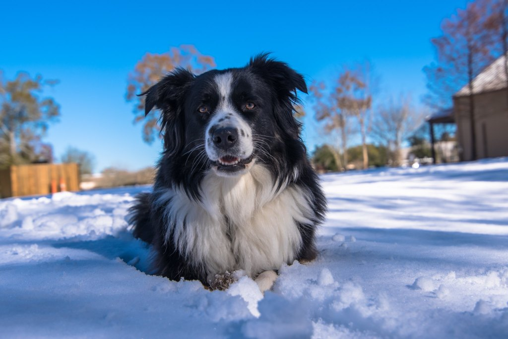 A long haired border collie with its little toes in the snow