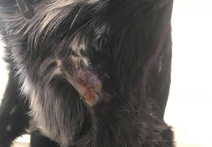 Dziki zaatakowały psa na Dolinie Gęśnika