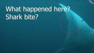 Shark Bite Manta Ray