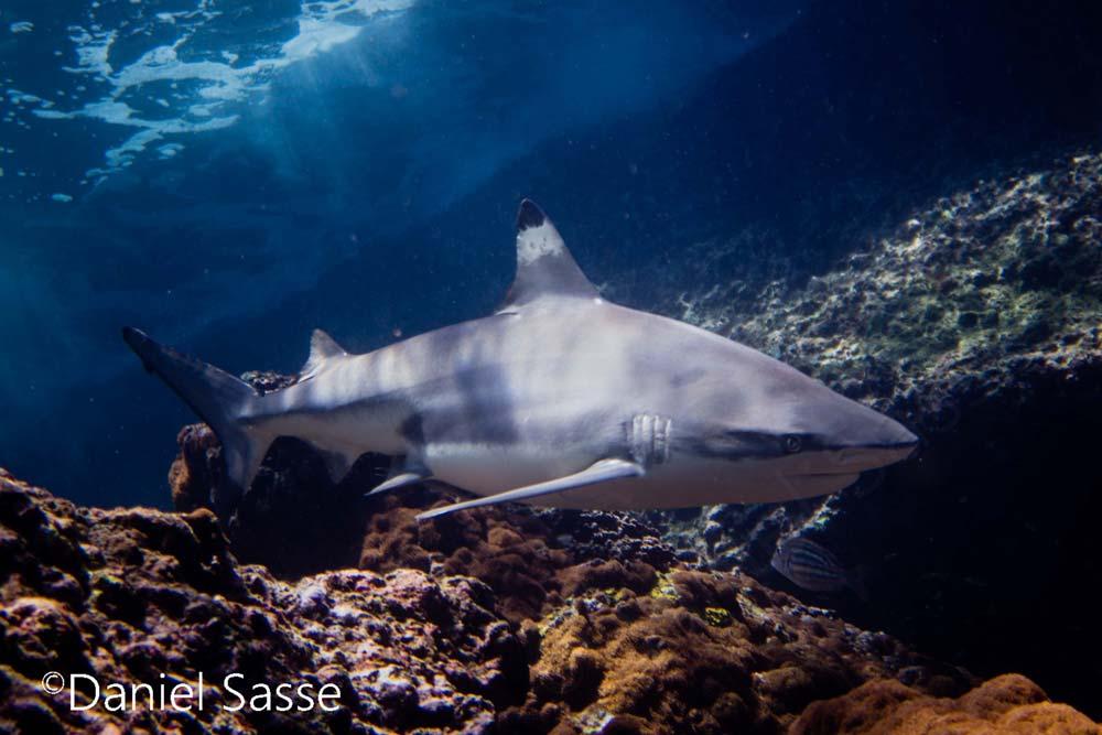 Black-Tip-Reef-shark-frintpage