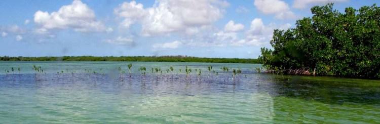 red mangrove seedlings