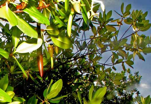 Red mangrove seed pods