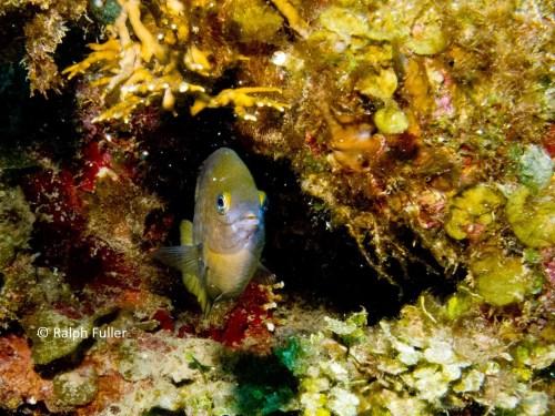 Threespot Damselfish (Stegastes partitus)