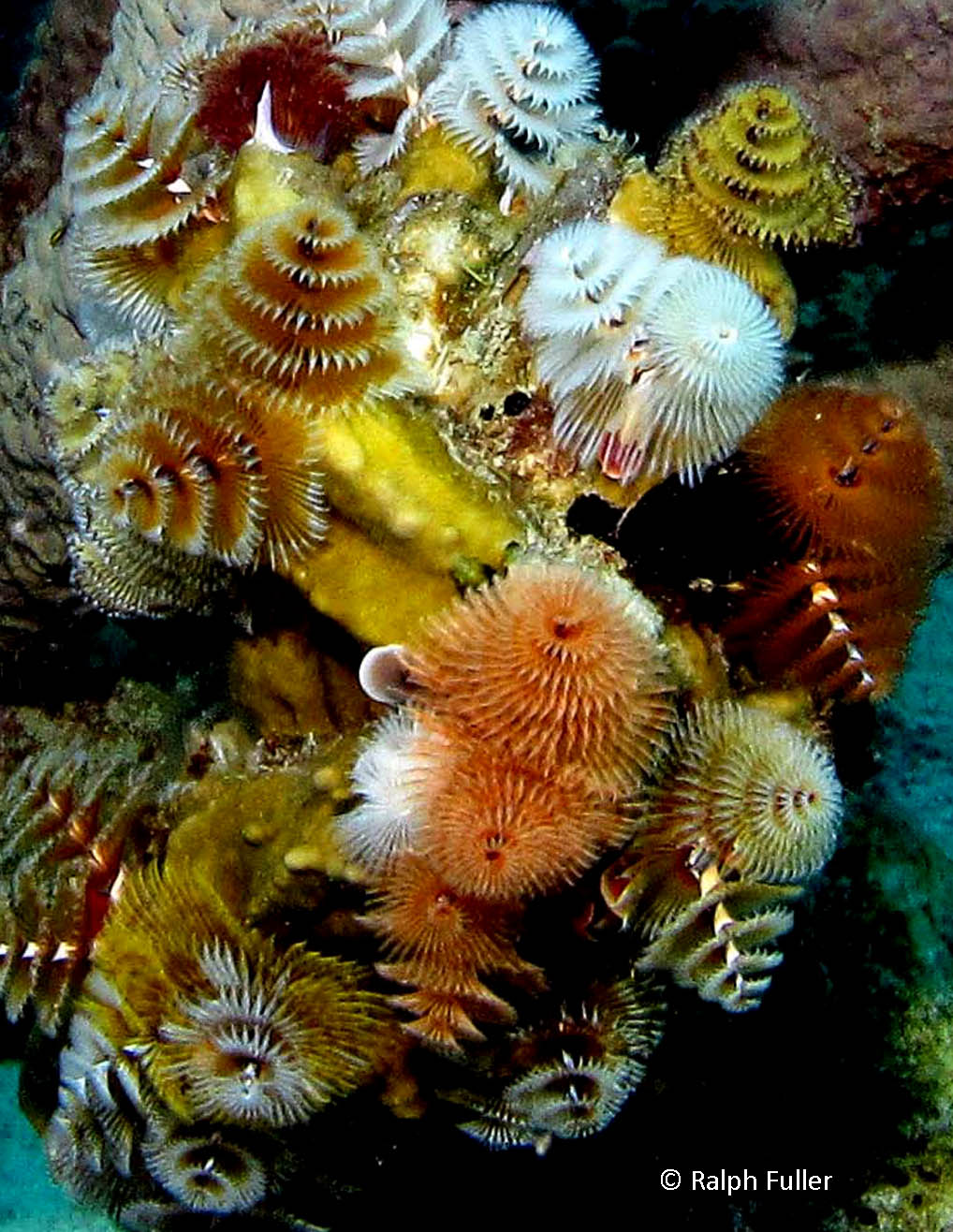 Christmas Tree Worms on the Reef: Beautiful (and Wormy ...