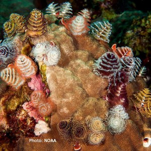 feather duster and Christmas tree worms
