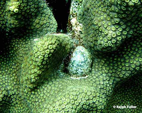 Sea pearl algae can take an oblong, or egg, shape.