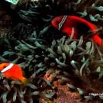 bubble-tip anemone (Entacmaea quadricolor), tomato amenonefish