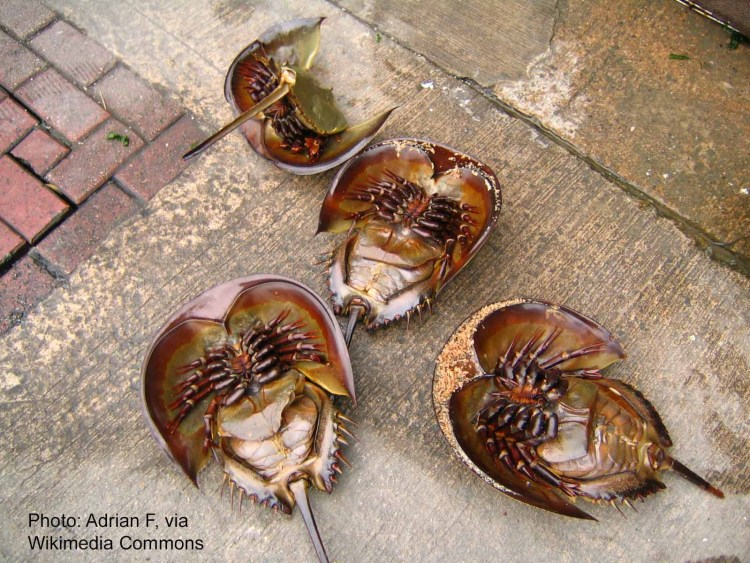 horseshoe crab facts