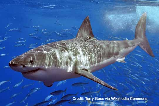great white sharks and killer whales