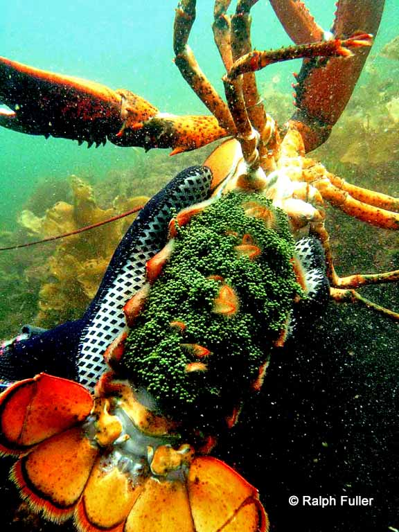 female lobster with eggs