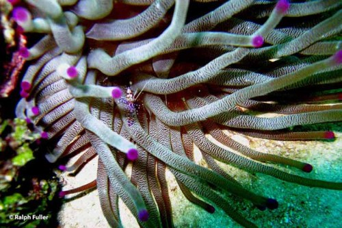 spotted cleaner shrimp on giant anemone