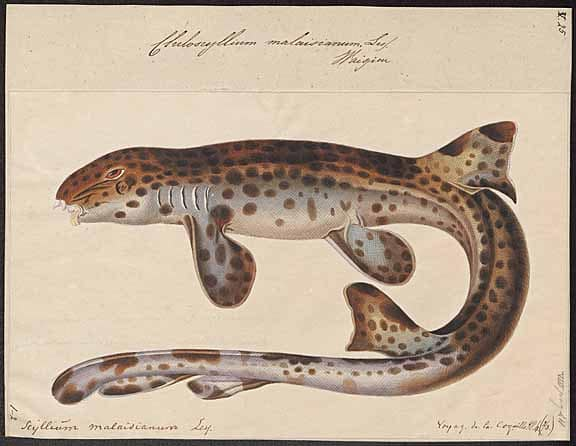 Indonesian speckled carpetshark (Hemiscyllium freycineti)