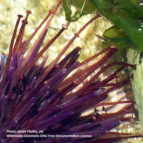 purple sea urchin tube feet