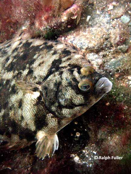 Winter Flounder (Pseudopleuronectes americanus)