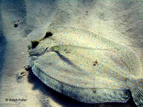 Peacock Flounder (Bothus lunatus)