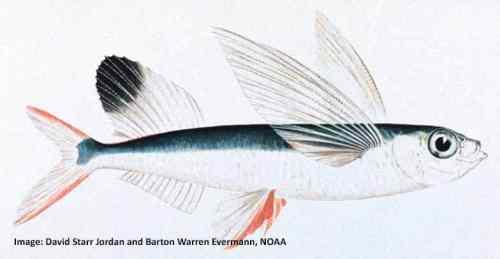 Parexocoetus brachypterus