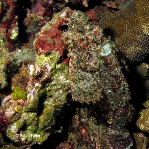 benthic fish - scorpionfish on coral
