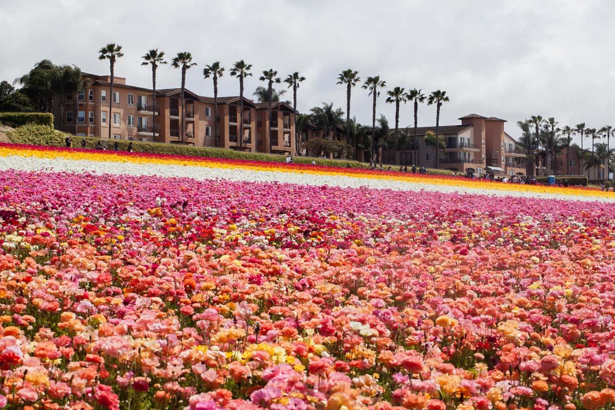 Visiting the flower fields in Carlsbad California-Travel-San-Diego-Ranunculus