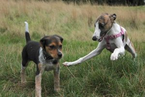 whippet puppy dives on her friend
