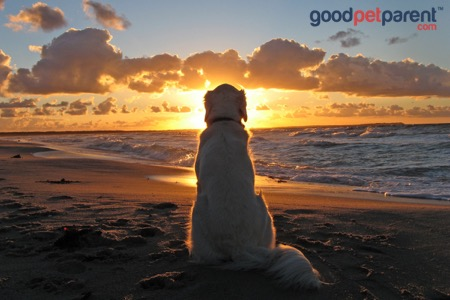 image_postvs005_goodpetparent_sundowner-syndrome-in-dogs