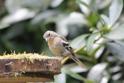 female-finch