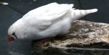 white-zebra-finch-bird