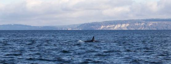 Another Orca spotted in the Puget Sound. (Photo by the author)