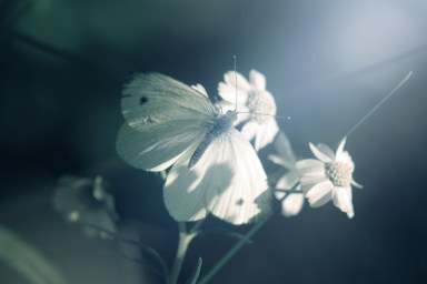 white-butterfly-white-flowers