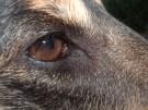 dog eye 2