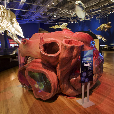 Photo from http://www.calacademy.org/exhibits/whales-giants-of-the-deep