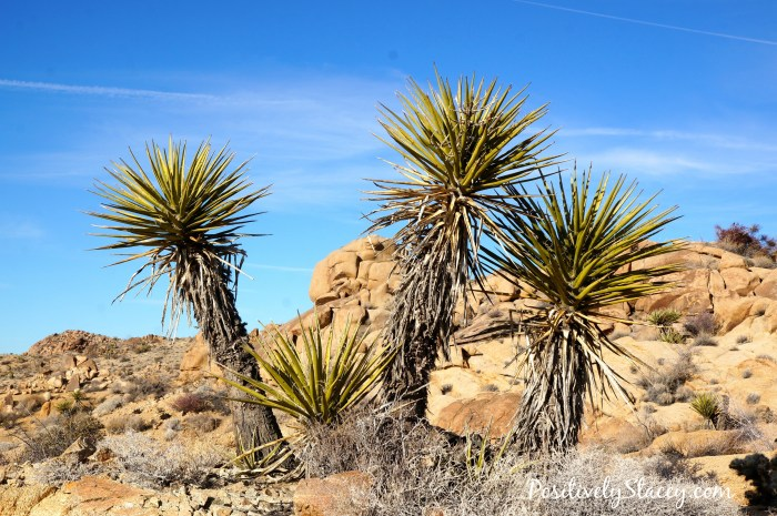 Joshua Tree National Park Palms