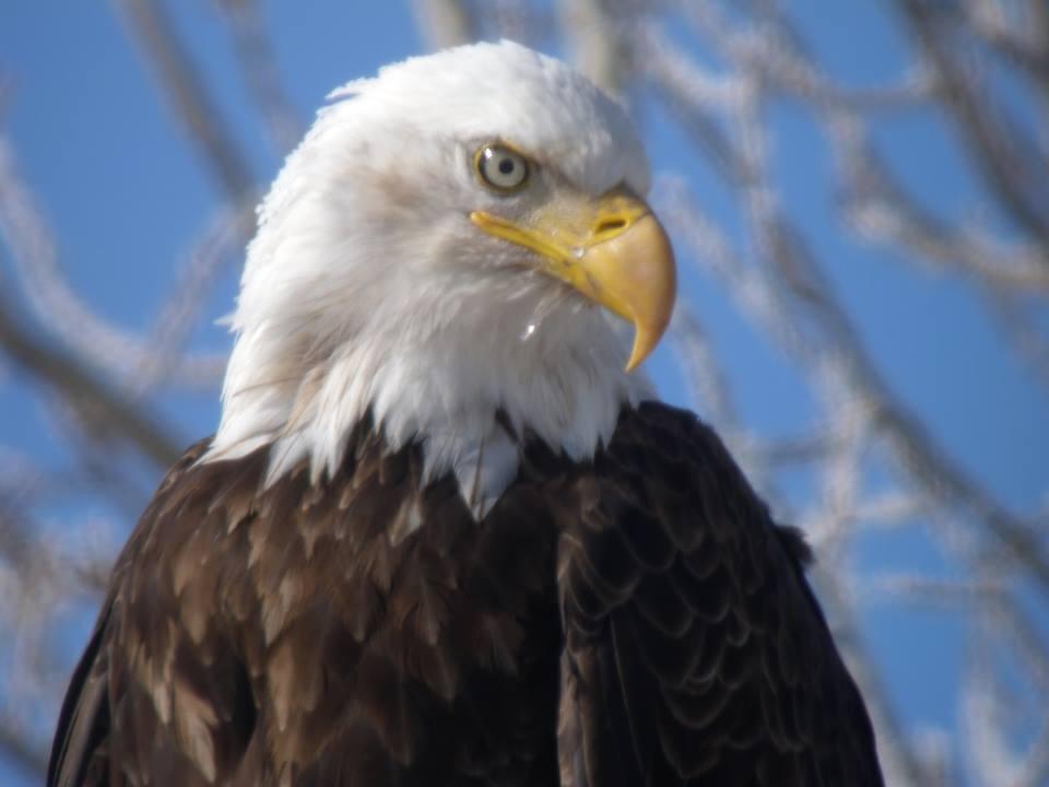 Uncle David's Bald Eagle