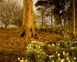 Daffodils No. 1 (2004)