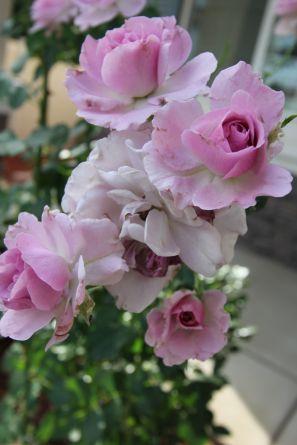 rose unpruned