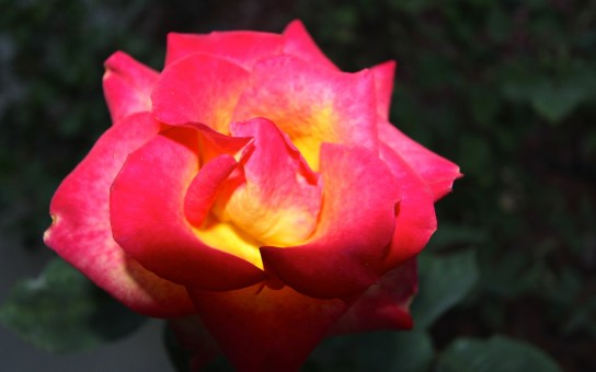 Red-Yellow Rose - 1