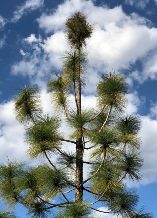 Pine Tree Clouds - 1